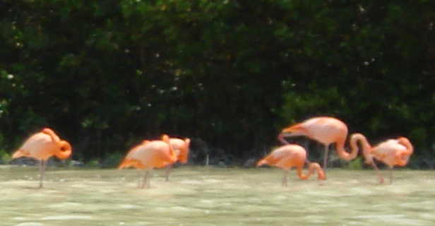 Flamingoes at Celestun