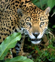 The Yucatan Jaguar found in Calakmul